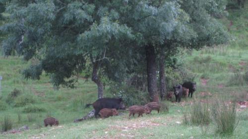 Wild Boar in Cazorla - Jabalis